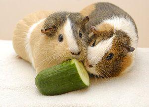 meerschweinchen als haustiere tipps zur haltung und pflege. Black Bedroom Furniture Sets. Home Design Ideas